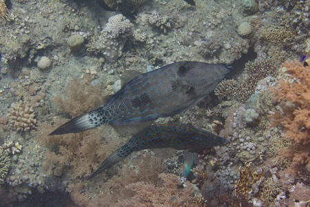 Scrawled Filefish on Coral Reef in Red Sea off Sharm El Sheikh, Egypt Stock Photo
