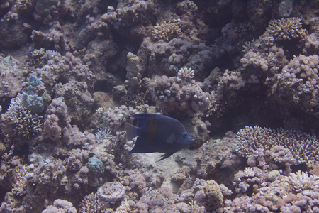 Yellowbar Angelfish on Coral Reef in Red Sea off Sharm El Sheikh, Egypt Stock Photo