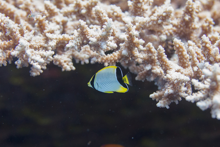 Juvenile Chevroned Butterflyfish and Lyretail Hogfish in Table Coral on Coral Reef in Red Sea in Dahab, Egypt