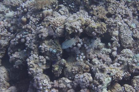 Zebra Angelfish on Coral Reef in Red Sea off Sharm El Sheikh, Egypt