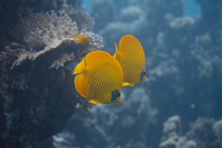 Masked Butterflyfish on Coral Reef in Red Sea off Dahab, Egypt