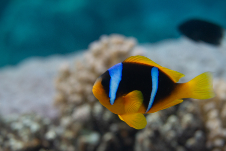 Red Sea Anemonefish on Coral Reef in Red Sea off Dahab, Egypt