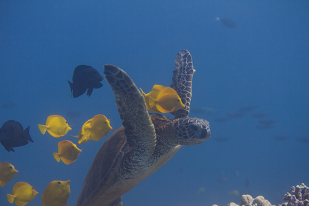 Green Sea Turtle Being Cleaned by Yellow Tangs and Kole Tangs on Coral Reef off Kona, the Big Island, Hawaii