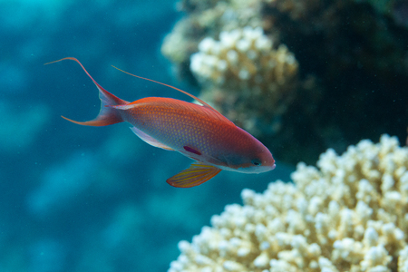 Male Lyretail Anthias on Coral Reef in Red Sea off Dahab, Egypt Stock Photo
