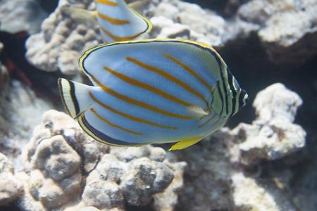 Ornate Butterflyfish on Coral Reef off Kona, the Big Island, Hawaii Stock Photo