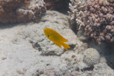 Sulphur Damsel on Coral Reef in Red Sea off Dahab, Egypt