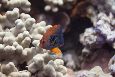 Potters Angelfish on Coral Reef off Maui, Hawaii