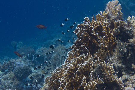 Half-and-Half Chromis and Lyretail Anthias Over Net Fire Coral on Coral Reef in Red Sea off Sharm El Sheikh, Egypt Stock Photo