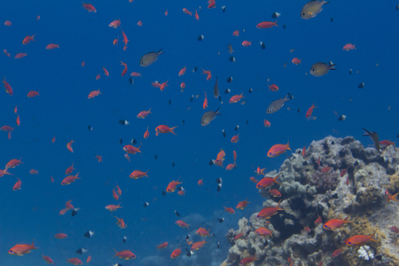 Shoal of Lyretail Anthias, Arabian Chromis, and Half-and-Half Chromis on Coral Reef in Red Sea off Sharm El Sheikh, Egypt