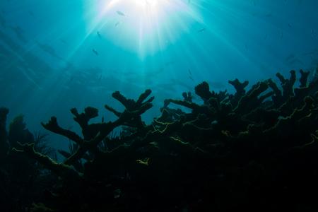 Sun Over Endangered Elkhorn Coral on Coral Reef at Looe Key, Florida Keys