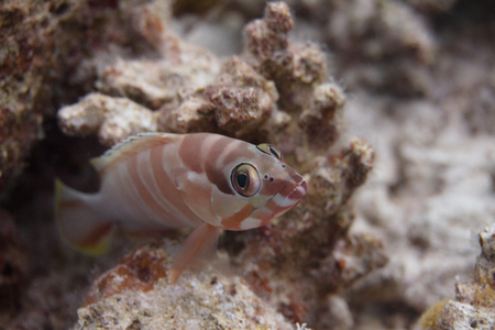 Blacktip Grouper on Coral Reef in Red Sea off Dahab, Egypt Stock Photo
