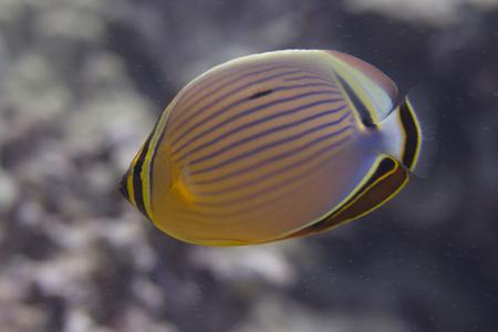 Oval Butterflyfish on Coral Reef off Kona, Big Island, Hawaii