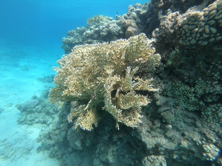 Net Fire Coral on Coral Reef in Red Sea off Eilat, Israel Stock Photo
