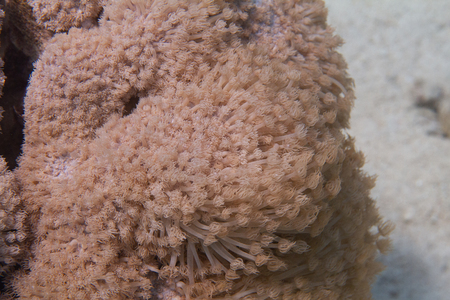 Goniopora columna Coral Colony on Coral Reef in Red Sea off Eilat, Israel