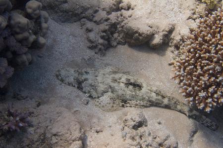 Indian Ocean Crocodilefish on Coral Reef in Red Sea off Sharm El Sheikh Stock Photo