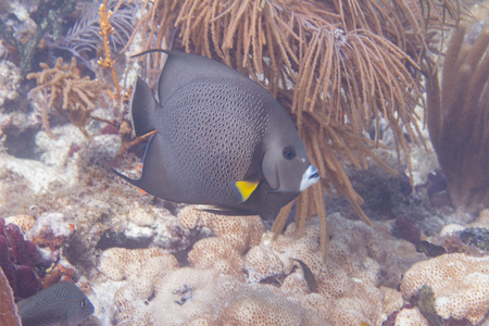 Gray Angelfish on Coral Reef off Marathon, Florida Keys, Florida
