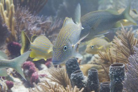 Shoal of White Grunts with Bluestriped Grunts on Coral Reef off Marathon, Florida Keys, Florida