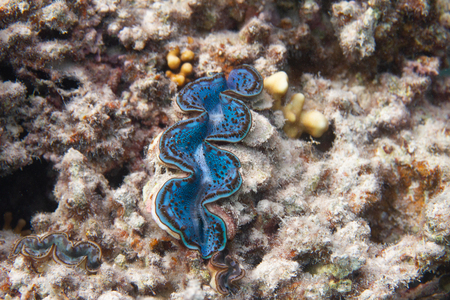 Blue Maxima Clam (Tridacna maxima) on coral reef in Red Sea off Dahab, Egypt