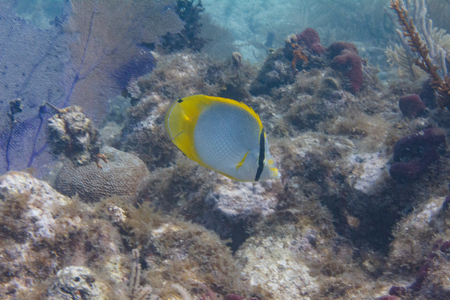 Spotfin Butterflyfish on Coral Reef off Duck Key, Florida Keys, Florida Stock Photo - 124174560