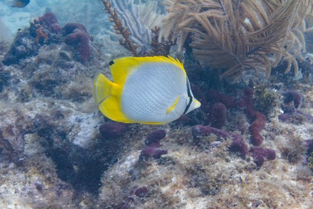 Spotfin Butterflyfish on Coral Reef off Duck Key, Florida Keys, Florida
