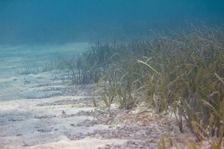 Turtlegrass (Seagrass) on Coral Reef off Marathon, Florida Keys, Florida
