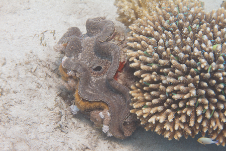 Fluted Giant Clam (Tridacna squamosa) next to Acropora humilis coral with Green Chromis on coral reef in Red Sea off Eilat, Israel Stock Photo