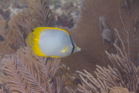 Spotfin Butterflyfish on Coral Reef off Marathon, Florida Keys, Florida
