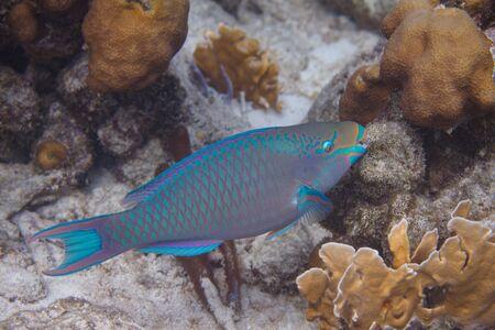 Queen Parrotfish on coral reef off Bonaire, Dutch Caribbean