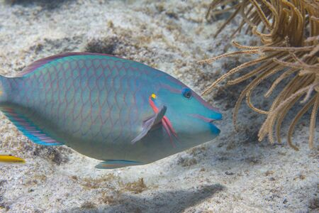 Stoplight Parrotfish on coral reef off Bonaire, Dutch Caribbean