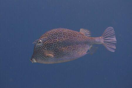 Honeycomb Cowfish on coral reef off Bonaire, Dutch Caribbean