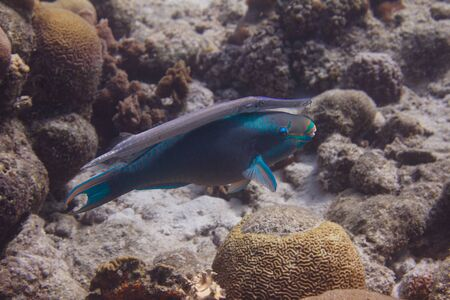 Queen Parrotfish and Trumpetfish swimming together on coral reef off Bonaire, Dutch Caribbean