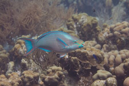 Queen Parrotfish on coral reef off Bonaire, Dutch Caribbean