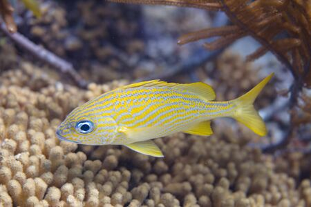 French Grunt on coral reef off Bonaire, Dutch Caribbean Stock Photo