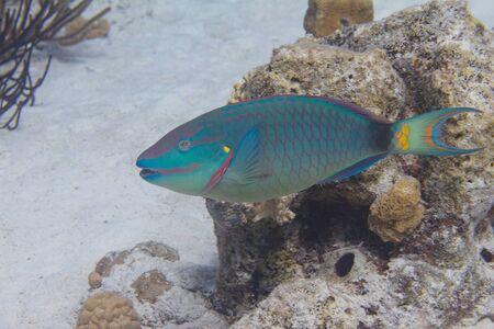 Stoplight Parrotfish on coral reef off Bonaire, Dutch Caribbean