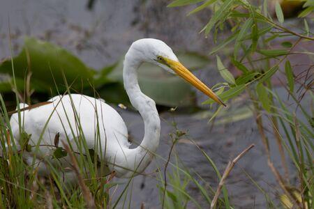 Great Egret in Florida Everglades Stock Photo