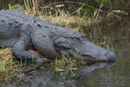 American Alligator in Florida Everglades