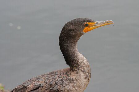 Double-crested Cormorant in Florida Everglades