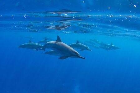 Pod of Hawaiian Spinner Dolphins off Kona, Big Island, Hawaii Stock Photo