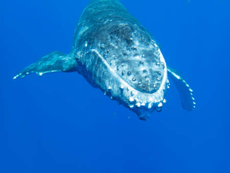 Humpback whale calf underwater off the island of Moorea in French Polynesia, right next to Tahiti. Stock Photo