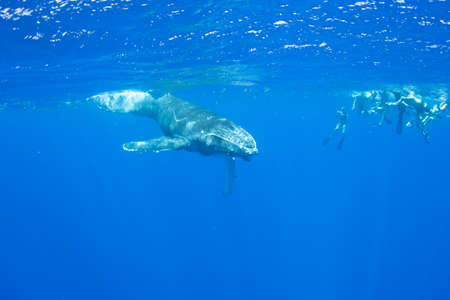 Humpback whale calf underwater swimming next to a group of unidentifiable snorkelers on a tour. Off the island of Moorea in French Polynesia, right next to Tahiti.