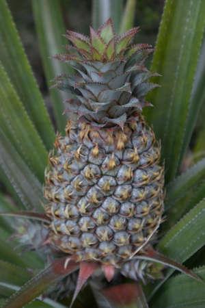 Pineapple fruit growing on Tahiti, French Polynesia Stock Photo
