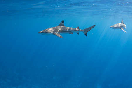 Blacktip Reef Sharks in the lagoon off Moorea, French Polynesia next to Tahiti Stock Photo