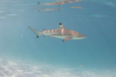 Blacktip Reef Shark in the lagoon off Moorea, French Polynesia next to Tahiti