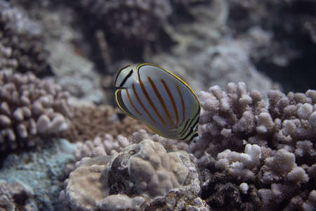 Ornate Butterflyfish (Chaetodon ornatissimus) on coral reef off Moorea. French Polynesia, next to Tahiti in the South Pacific. Stock Photo