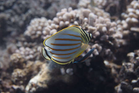 Ornate Butterflyfish (Chaetodon ornatissimus) with Bluestreak Cleaner Wrasse (Labroides dimidiatus) on coral reef off Moorea. French Polynesia, next to Tahiti in the South Pacific.