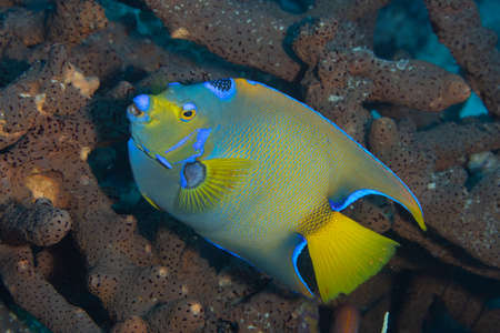 Queen angelfish on coral reef  off the tropical island of Bonaire in the Caribbean Netherlands. Standard-Bild