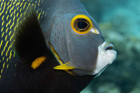 French angelfish on coral reef off the tropical island of Bonaire in the Caribbean Netherlands. Closeup on the face. Standard-Bild