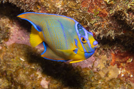 Juvenile queen angelfish in transition phase on coral reef  off the tropical island of Bonaire in the Caribbean Netherlands.