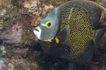 French angelfish on coral reef off the tropical island of Bonaire in the Caribbean Netherlands. Standard-Bild