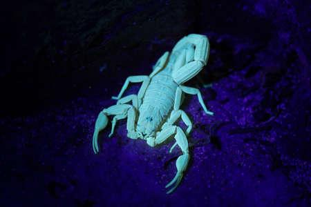 Bark scorpion (Centruroides testaceus) fluorescing under UV light on the tropical island of Bonaire, part of the Caribbean Netherlands.